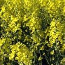 Oilseed rape on a field