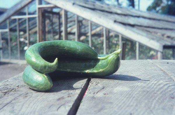 Gurken Und Zucchini Krankheiten Schädlinge Und Physiologische