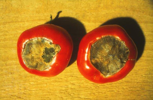 tomaten krankheiten sch dlinge und physiologische st rungen lfl. Black Bedroom Furniture Sets. Home Design Ideas