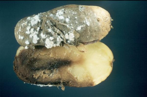 Kartoffelkrankheiten Lfl