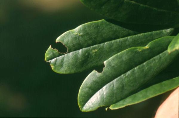 Rhododendren Schädlinge Krankheiten Und Vergilbungen Lfl