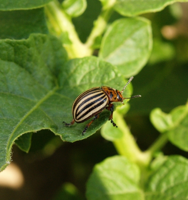 Strategy Against Colorado Potato Beetles