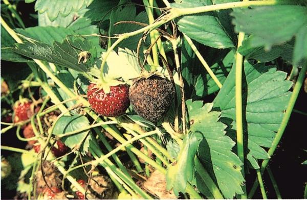 Berühmt Erdbeeren – Krankheiten und Schädlinge - LfL @JM_79