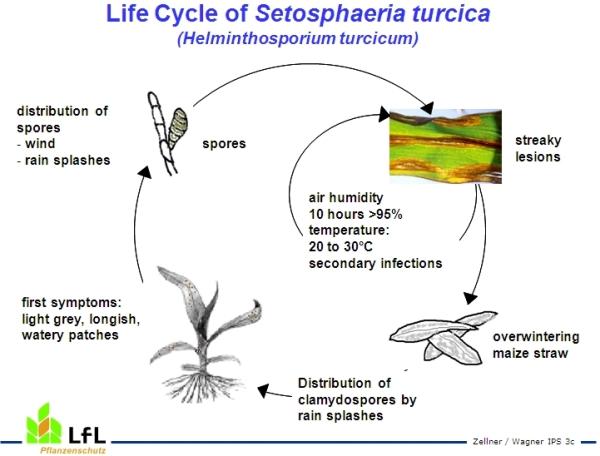 Leaf blight of maize lfl life cycle of setosphaeria turcica helminthosporium turcicum the eye spot disease thecheapjerseys Choice Image