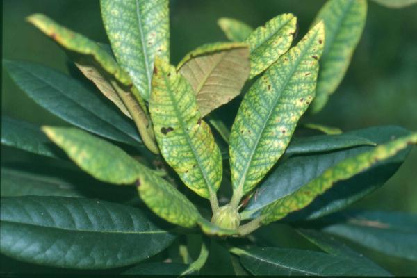 Turbo Rhododendren - Schädlinge, Krankheiten und Vergilbungen - LfL KT71