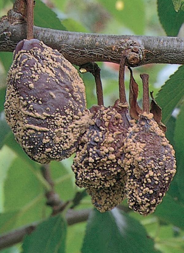 ZwetschgenPflaumen Krankheiten Und Schdlinge LfL