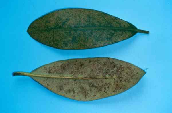 Sehr Rhododendren - Schädlinge, Krankheiten und Vergilbungen - LfL JA99