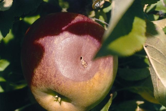 cox orange apfelbaum größe