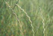 Gräsersorten optimierung dh technologien in der gräserzüchtung zur