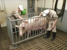 students brush a pig