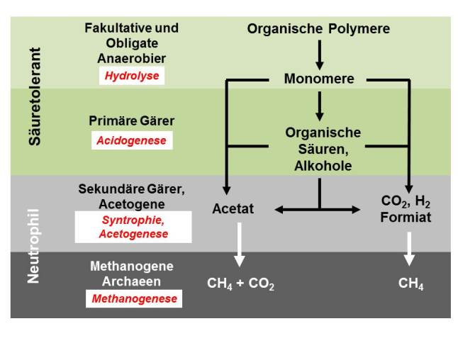 Vereinfachtes Schema der anaeroben Vergärung mit Abbau der organischen Substanz über Hydrolyse/Acidogenese, Sekundärfermentation (Intermediärmetabolismus) und Methanogenese zu Biogas